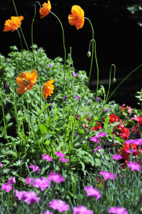 Icelandic Poppies, Begonias and Dianthus vertical