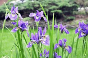 Siberian Irises 2011