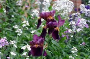 Win's Burgundy Iris May 31 2015